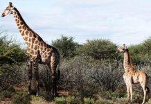 Con hươu cao cổ lùn Nigel (bên phải) và một con hươu cao cổ đực trưởng thành ở Nambia. Ảnh: BMC Research Notes