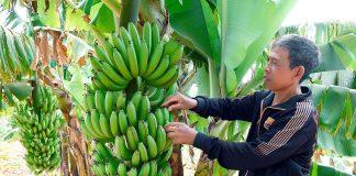 Rah Lan Kê: Lão nông Jrai làm kinh tế giỏi