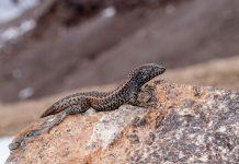 Thằn lằn Liolaemus tacnae (ảnh) có nguồn gốc từ dãy Andes của Peru, nơi gần đây nó được phát hiện lập kỷ lục thế giới về sống ở độ cao đối với loài bò sát.