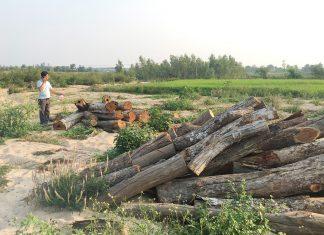 Kỳ 1: Phá rừng lấy củi sấy thuốc lá