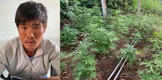 Chư Prông: Tạm giữ đối tượng trồng hơn 1.300 cây cần sa trong vườn nhà