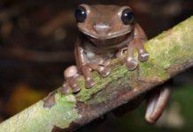 Loài ếch mới được gọi là ếch sôcôla bởi làn da màu nâu bóng đặc trưng của chúng. Ảnh: Bảo tàng Queensland