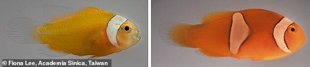 Những con cá hề non sống trong hải quỳ thảm khổng lồ (bên phải) có vạch trắng nhanh hơn những con sống trong hải quỳ tuyệt đẹp (bên trái). Ảnh: Đại học Okinawa