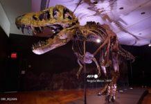 Ở tuổi 13, lực cắn của T.Rex đã có thể đạt tới 5.641 newton, tương đương với lực cắn của linh cẩu hoặc cá sấu. Ảnh: AFP