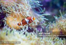 Cá hề phát triển các sọc trắng đặc trưng của chúng với tốc độ khác nhau tùy thuộc vào loại hải quỳ mà chúng sinh sống. Ảnh: AFP