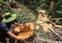 Vụ chở gỗ dổi khủng ở Gia Lai: 'Không cố tình làm sai'