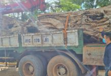 Xe ô tô và 2 gốc cây bằng lăng cổ thụ đang bị tạm giữ. Ảnh: Hà Phương