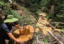1. Một cây gỗ bị cưa hạ không thương tiếc tại tiểu khu 25