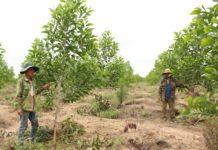 Người dân xã Ia Blứ nhận khoán trồng rừng gỗ lớn trên đất trống đồi trọc. Ảnh: Nguyễn Diệp