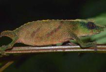Loài tắc kè hoa lùn quý hiếm ở Malawi có nguy cơ tuyệt chủng nếu không có hành động bảo tồn khẩn cấp. Ảnh: The South African National Biodiversity Institute