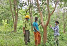 Dân làng A Lao chung tay bảo tồn giống cây quý. Ảnh: Hoành Sơn