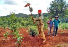 Các giống cà phê hỗ trợ người dân tái canh có khả năng sinh trưởng và phát triển tốt, kháng được nhiều sâu bệnh hại và cho năng suất, chất lượng cao. ảnh chụp trước đợt dịch Covid-19. Ảnh: Quang Tấn