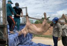 Lực lượng chức năng xã Chư Răng (huyện Ia Pa) chở heo bị bệnh đi tiêu hủy. Ảnh: Vũ Chi