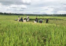 Người dân xã Ia Dêr thu hoạch lúa. Ảnh: Lê Nam
